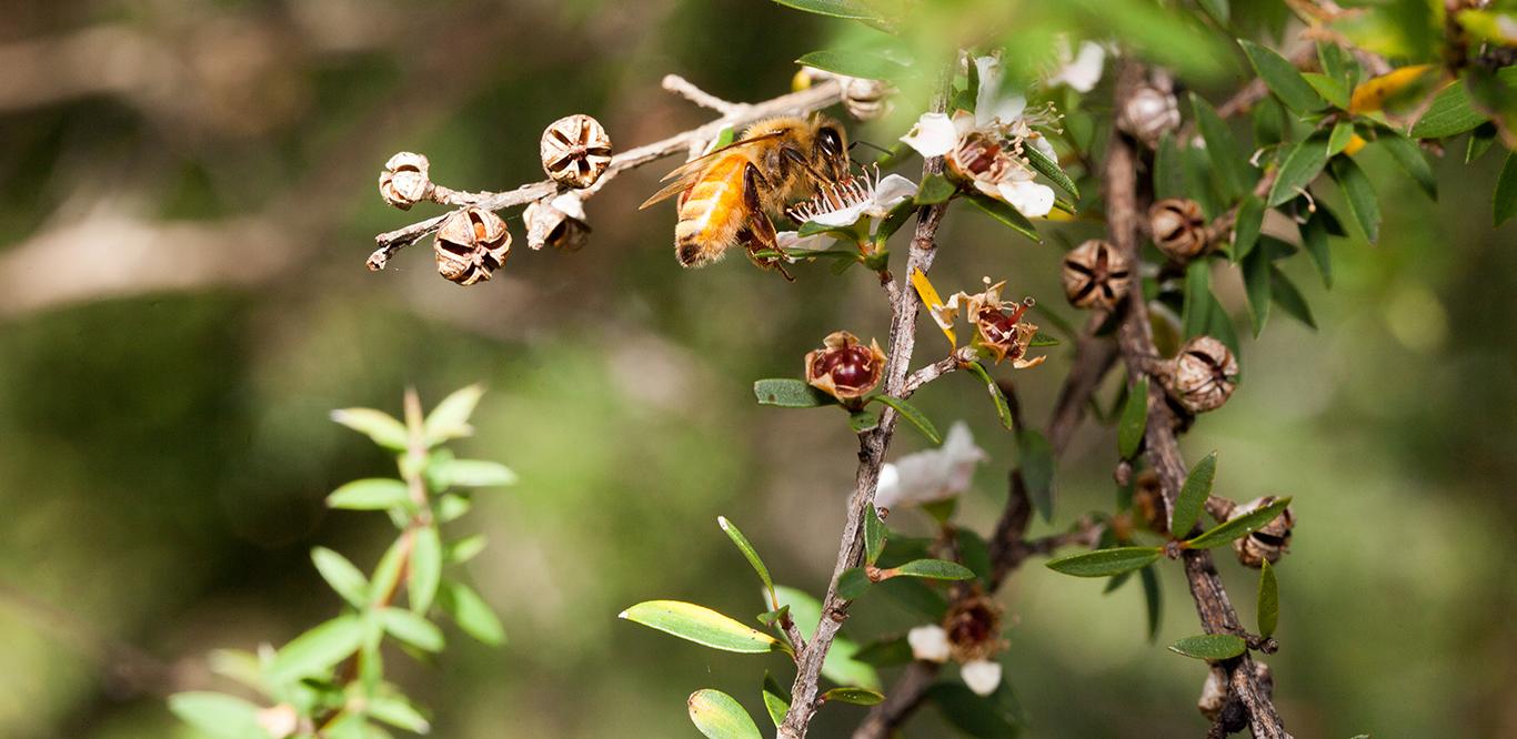 Egmont Honey Biene beim Nektarsammeln