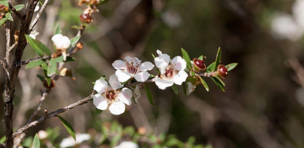 egmont honey_manuka pflanze